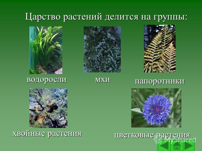 Царство растений делится на группы: водоросли хвойные растения мхи папоротники цветковые растения