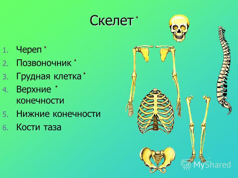 Скелет 1. 1. Череп 2. 2. Позвоночник 3. 3. Грудная клетка 4. 4. Верхние конечности 5. 5. Нижние конечности 6. 6. Кости таза