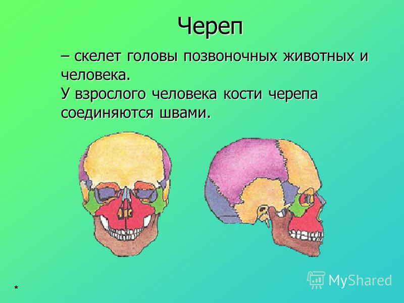 – скелет головы позвоночных животных и человека. У взрослого человека кости черепа соединяются швами. Череп