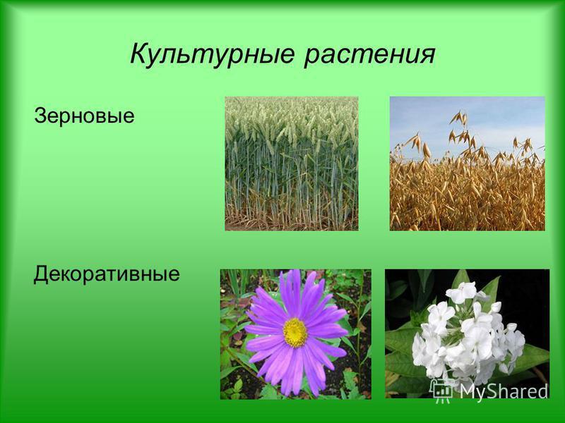 Культурные растения Зерновые Декоративные