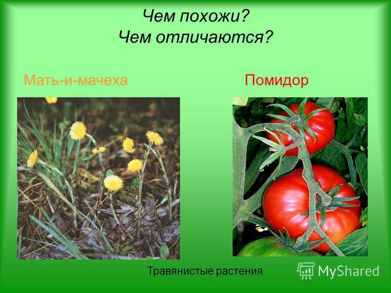 Мать-и-мачеха Помидор Травянистые растения Чем похожи? Чем отличаются?