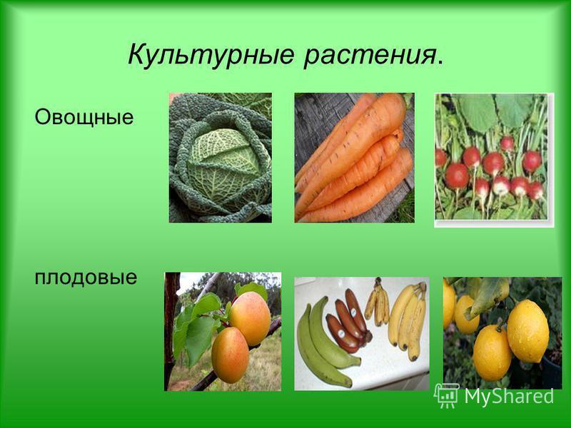 Культурные растения. Овощные плодовые