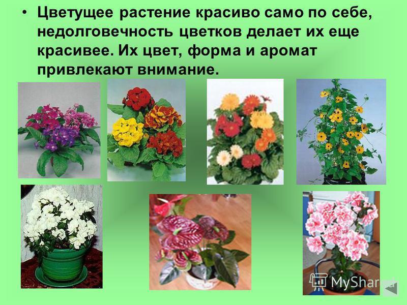 Цветущее растение красиво само по себе, недолговечность цветков делает их еще красивее. Их цвет, форма и аромат привлекают внимание.