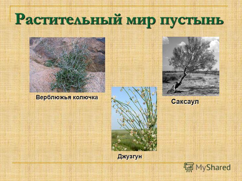 Растительный мир пустынь Верблюжья колючка Саксаул Джузгун