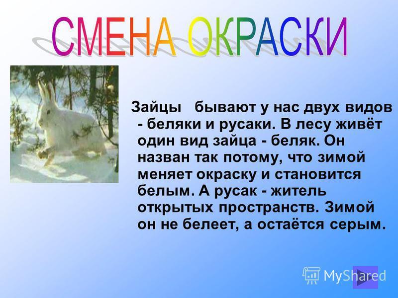 Зайцы бывают у нас двух видов - беляки и русаки. В лесу живёт один вид зайца - беляк. Он назван так потому, что зимой меняет окраску и становится белым. А русак - житель открытых пространств. Зимой он не белеет, а остаётся серым.