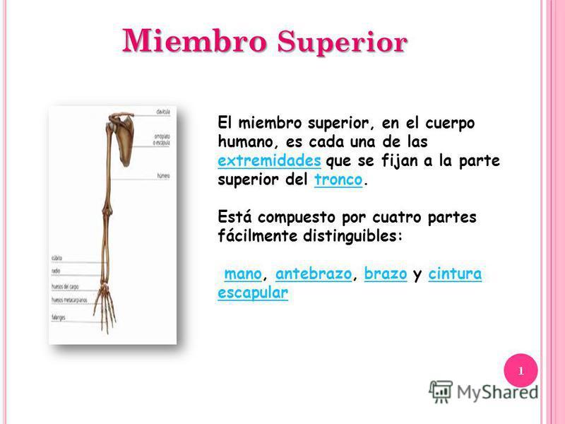 Miembro Superior El miembro superior, en el cuerpo humano, es cada una de las extremidades que se fijan a la parte superior del tronco. extremidadestronco Está compuesto por cuatro partes fácilmente distinguibles: mano, antebrazo, brazo y cintura esc