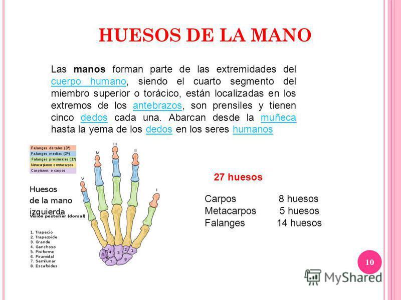 10 HUESOS DE LA MANO Las manos forman parte de las extremidades del cuerpo humano, siendo el cuarto segmento del miembro superior o torácico, están localizadas en los extremos de los antebrazos, son prensiles y tienen cinco dedos cada una. Abarcan de