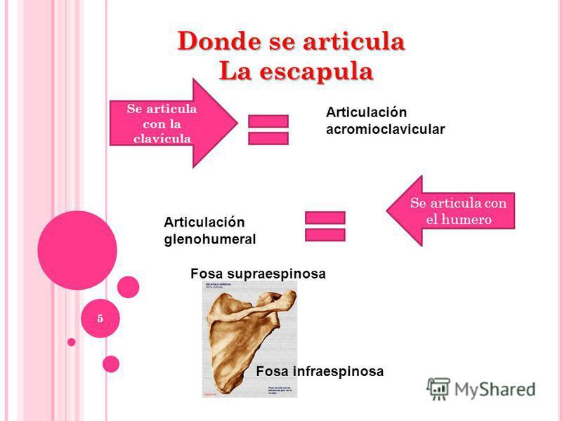5 Donde se articula La escapula Articulación acromioclavicular Se articula con la clavícula Se articula con el humero Articulación glenohumeral Fosa supraespinosa Fosa infraespinosa