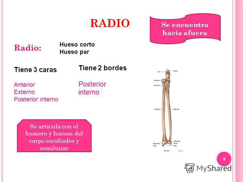 9 RADIO Radio: Hueso corto Hueso par Tiene 3 caras Anterior Externo Posterior interno Tiene 2 bordes Posterior interno Se encuentra hacia afuera Se articula con el humero y huesos del carpo escafoides y semilunar