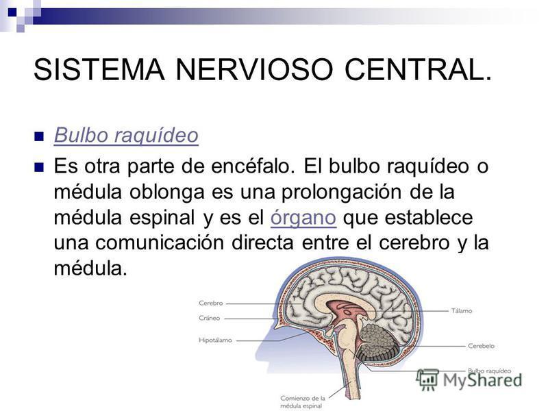 SISTEMA NERVIOSO CENTRAL. Bulbo raquídeo Es otra parte de encéfalo. El bulbo raquídeo o médula oblonga es una prolongación de la médula espinal y es el órgano que establece una comunicación directa entre el cerebro y la médula.órgano