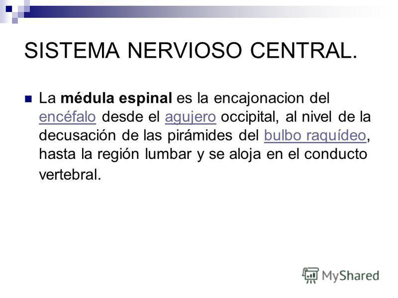 La médula espinal es la encajonacion del encéfalo desde el agujero occipital, al nivel de la decusación de las pirámides del bulbo raquídeo, hasta la región lumbar y se aloja en el conducto vertebral. encéfaloagujerobulbo raquídeo