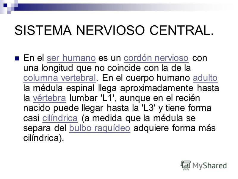 SISTEMA NERVIOSO CENTRAL. En el ser humano es un cordón nervioso con una longitud que no coincide con la de la columna vertebral. En el cuerpo humano adulto la médula espinal llega aproximadamente hasta la vértebra lumbar 'L1', aunque en el recién na