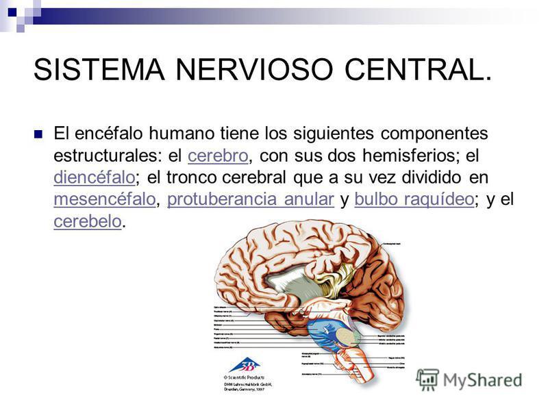 SISTEMA NERVIOSO CENTRAL. El encéfalo humano tiene los siguientes componentes estructurales: el cerebro, con sus dos hemisferios; el diencéfalo; el tronco cerebral que a su vez dividido en mesencéfalo, protuberancia anular y bulbo raquídeo; y el cere