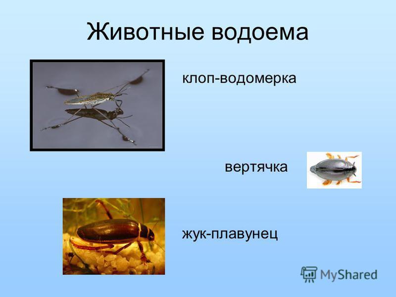 Животные водоема клоп-водомерка вертячка жук-плавунец