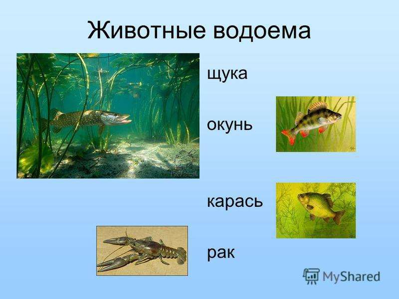 Животные водоема щука окунь карась рак