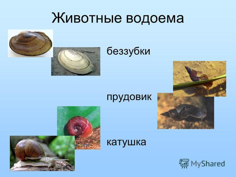 Животные водоема беззубки прудовик катушка
