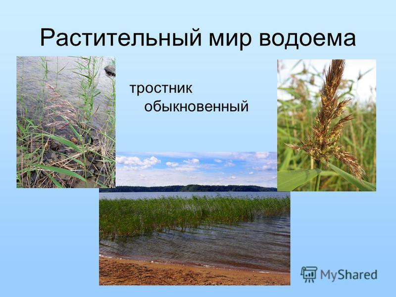Растительный мир водоема тростник обыкновенный