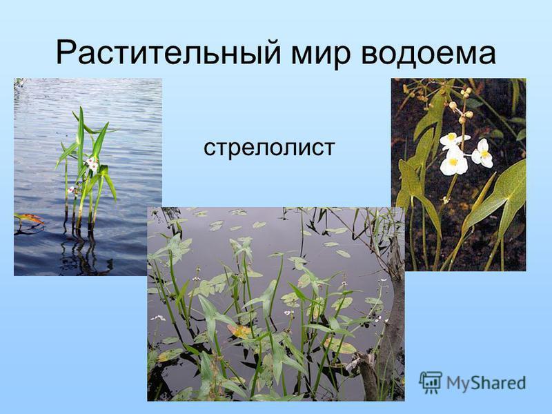 Растительный мир водоема стрелолист