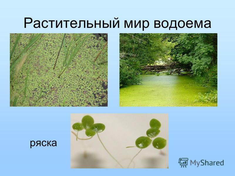 Растительный мир водоема ряска