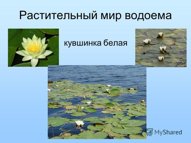 Растительный мир водоема кувшинка белая