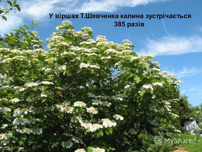 У віршах Т.Шевченка калина зустрічається 385 разів