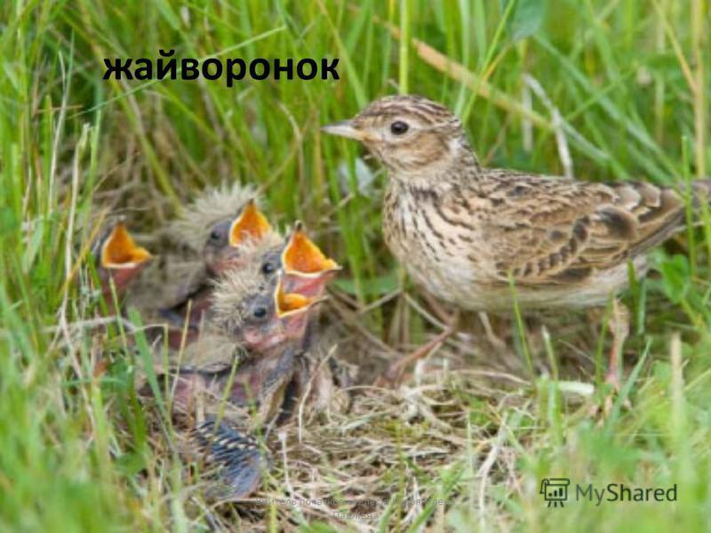 жайворонок Вчитель початкових класів Кудря Олена Павлівна