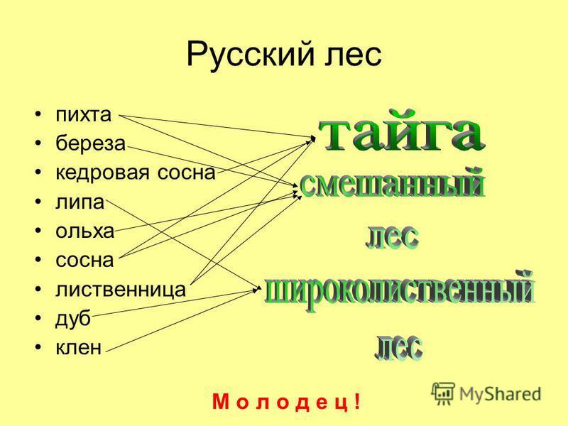 Русский лес пихта береза кедровая сосна липа ольха сосна лиственница дуб клен М о л о д е ц !