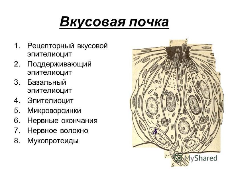Вкусовая почка 1. Рецепторный вкусовой эпителиоцит 2. Поддерживающий эпителиоцит 3. Базальный эпителиоцит 4. Эпителиоцит 5. Микроворсинки 6. Нервные окончания 7. Нервное волокно 8.Мукопротеиды