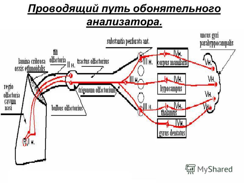 Проводящий путь обонятельного анализатора.