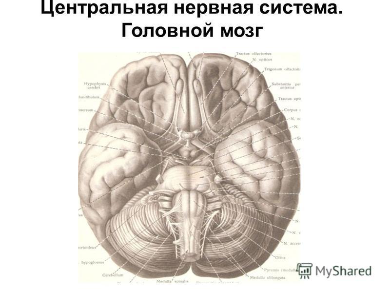Центральная нервная система. Головной мозг
