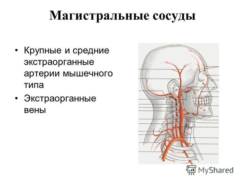 Магистральные сосуды Крупные и средние экстра органные артерии мышечного типа Экстраорганные вены
