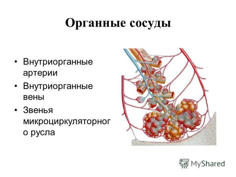 Органные сосуды Внутриорганные артерии Внутриорганные вены Звенья микроциркуляторного русла