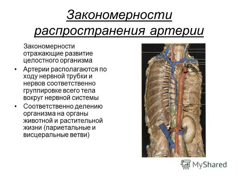 Закономерности распространения артерии Закономерности отражающие развитие целостного организма Артерии располагаются по ходу нервной трубки и нервов соответственно группировке всего тела вокруг нервной системы Соответственно делению организма на орга