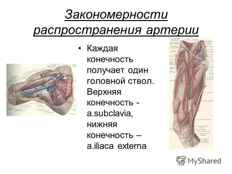 Закономерности распространения артерии Каждая конечность получает один головной ствол. Верхняя конечность - a.subclavia, нижняя конечность – a.iliaca externa