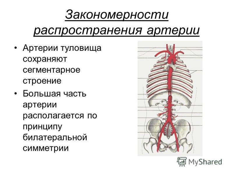 Закономерности распространения артерии Артерии туловища сохраняют сегментарное строение Большая часть артерии располагается по принципу билатеральной симметрии