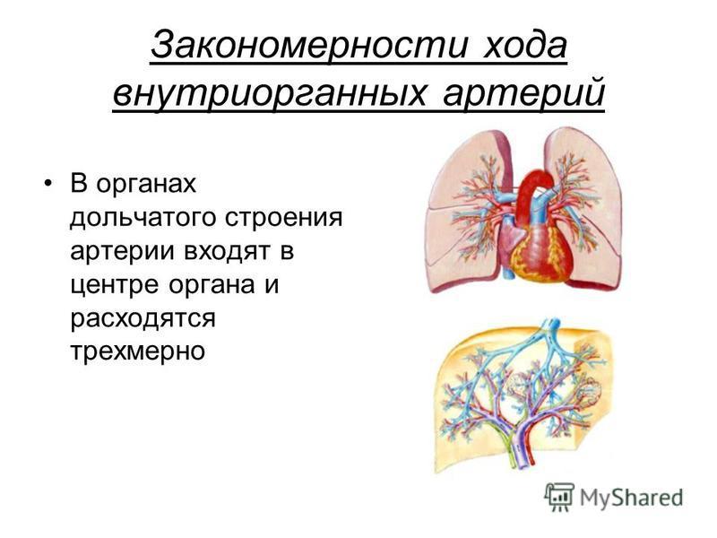 Закономерности хода внутриорганных артерий В органах дольчатого строения артерии входят в центре органа и расходятся трехмерно