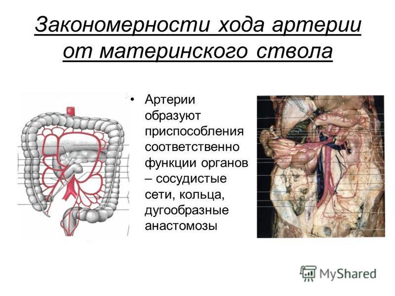 Закономерности хода артерии от материнского ствола Артерии образуют приспособления соответственно функции органов – сосудистые сети, кольца, дугообразные анастомозы