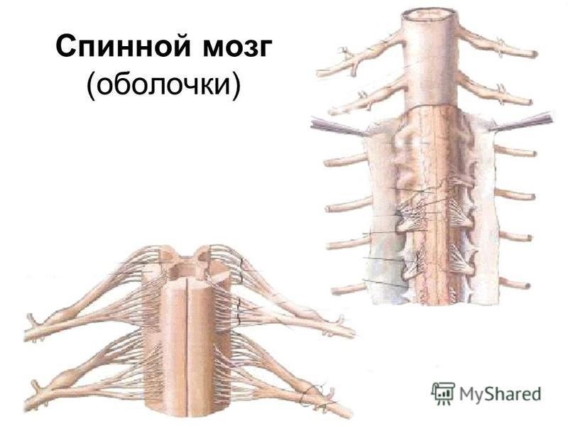 Спинной мозг (оболочки)
