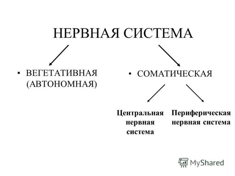 НЕРВНАЯ СИСТЕМА ВЕГЕТАТИВНАЯ (АВТОНОМНАЯ) СОМАТИЧЕСКАЯ Центральная нервная система Периферическая нервная система