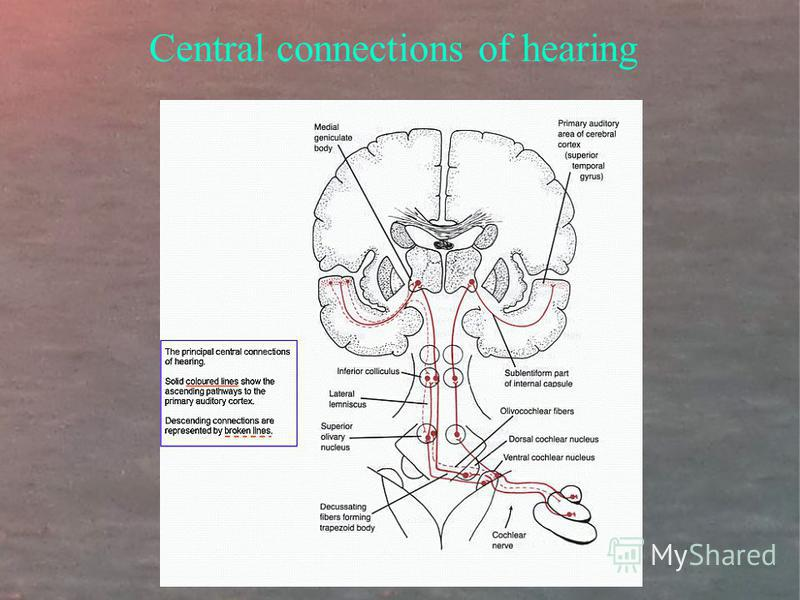 Central connections of hearing