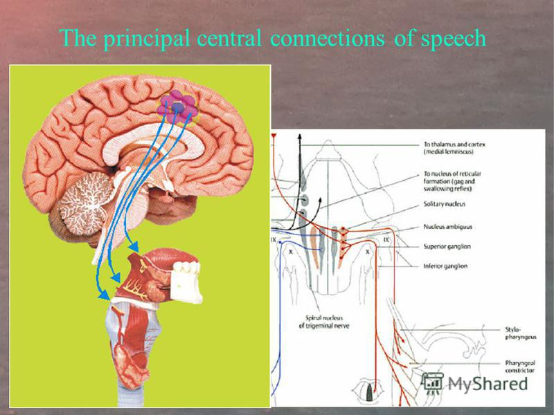 The principal central connections of speech