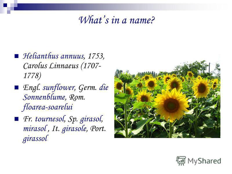 Whats in a name? Helianthus annuus, 1753, Carolus Linnaeus (1707- 1778) Engl. sunflower, Germ. die Sonnenblume, Rom. floarea-soarelui Fr. tournesol, Sp. girasol, mirasol, It. girasole, Port. girassol