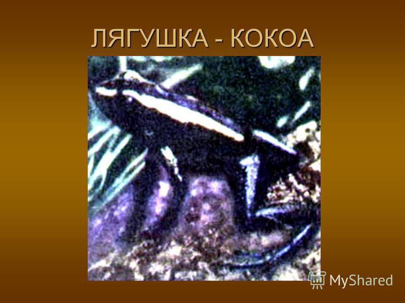 ЛЯГУШКА - БЫК ЛЯГУШКА-БЫК (Rana catesbiana) имеет длину 200 мм. Лягушка- бык распространена в восточной части Северной Америки, на юге более многочисленна, чем на севере. Нигде не образует таких больших скоплений, как наши зеленые лягушки. Предпочита