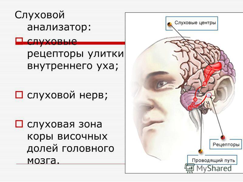 Слуховой анализатор: слуховые рецепторы улитки внутреннего уха; слуховой нерв; слуховая зона коры височных долей головного мозга.
