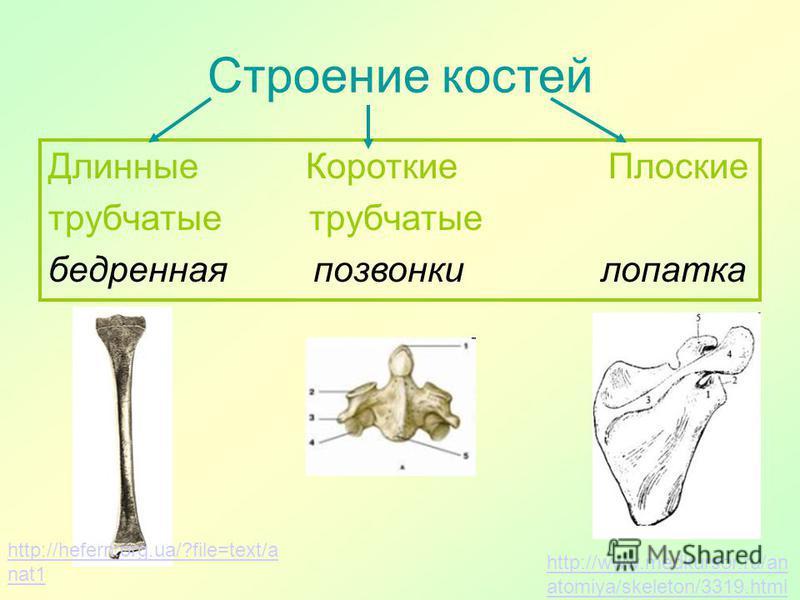 Строение костей Длинные Короткие Плоские трубчатые бедренная позвонки лопатка http://hefern.org.ua/?file=text/a nat1 http://www.medkursor.ru/an atomiya/skeleton/3319.html