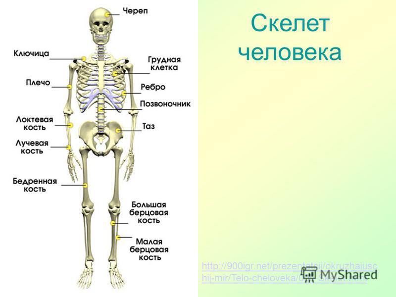 http://900igr.net/prezentatsii/okruzhajusc hij-mir/Telo-cheloveka/005-Skelet.html Скелет человека