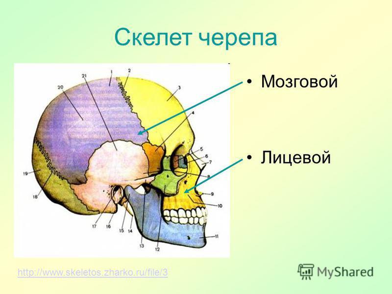 Скелет черепа http://www.skeletos.zharko.ru/file/3 Мозговой Лицевой