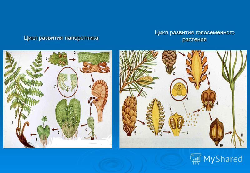 Цикл развития папоротника Цикл развития голосеменного растения