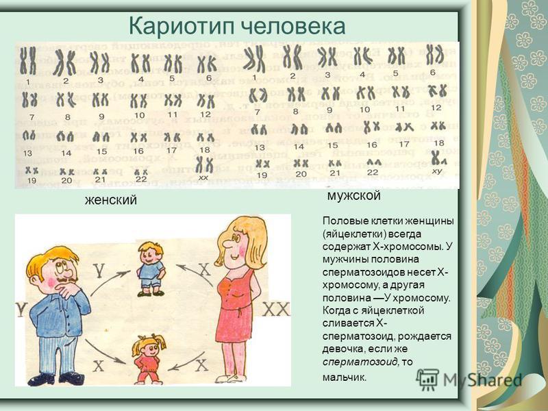 Кариотип человека Половые клетки женщины (яйцеклетки) всегда содержат Х-хромосомы. У мужчины половина сперматозоидов несет Х- хромосому, а другая половина У хромосому. Когда с яйцеклеткой сливается Х- сперматозоид, рождается девочка, если же спермато