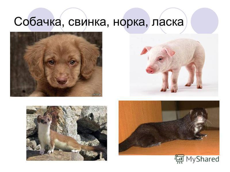 Собачка, свинка, норка, ласка